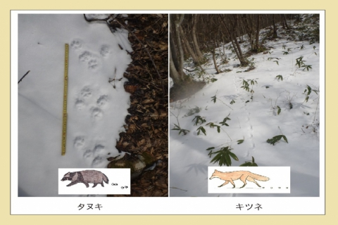 🐾Let's Go Animal Tracking! Search for Wild Animal Footprints in Akiu!