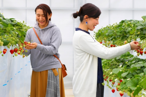 Sendai Strawberry Picking Experience