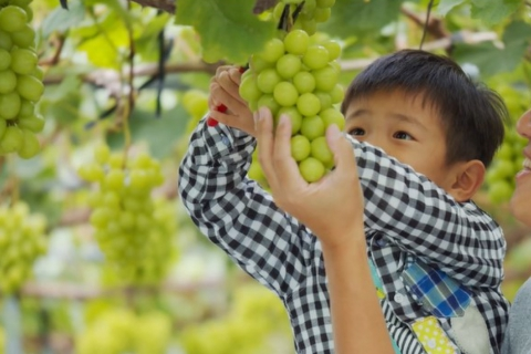 40-minute All-You-Can-Eat Luxury Grape Picking Experience in Yamamoto Town