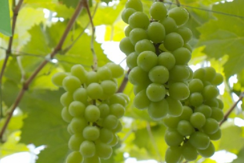 Luxury Grape Picking and Takeout Plan in Yamamoto Town